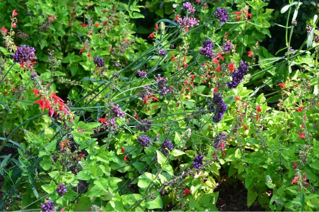 Verbena bonariensis and red salvia