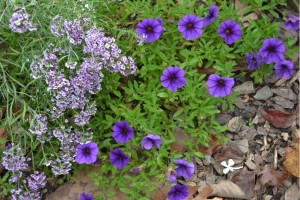 alyssum (Lobularia 'Blushing Princess') and million bells