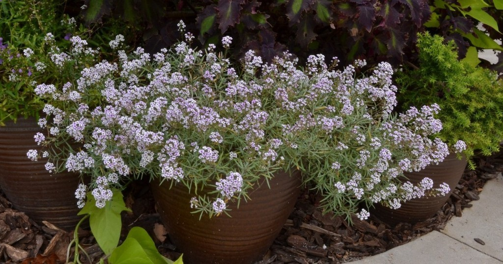alyssum (Lobularia 'Blushing Princess')