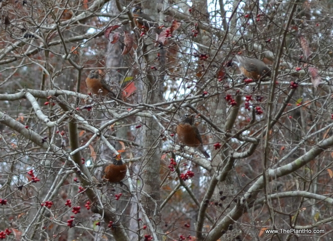 Birds in dogwood