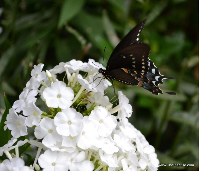 Butterfly on David phlox