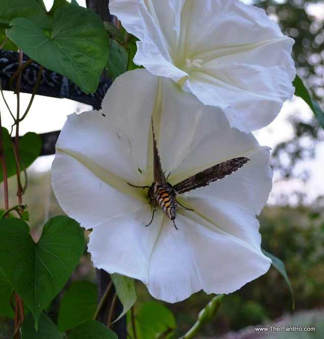 Moth on moonflower vine