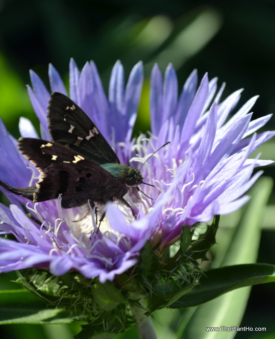 Butterfly on Stokesia