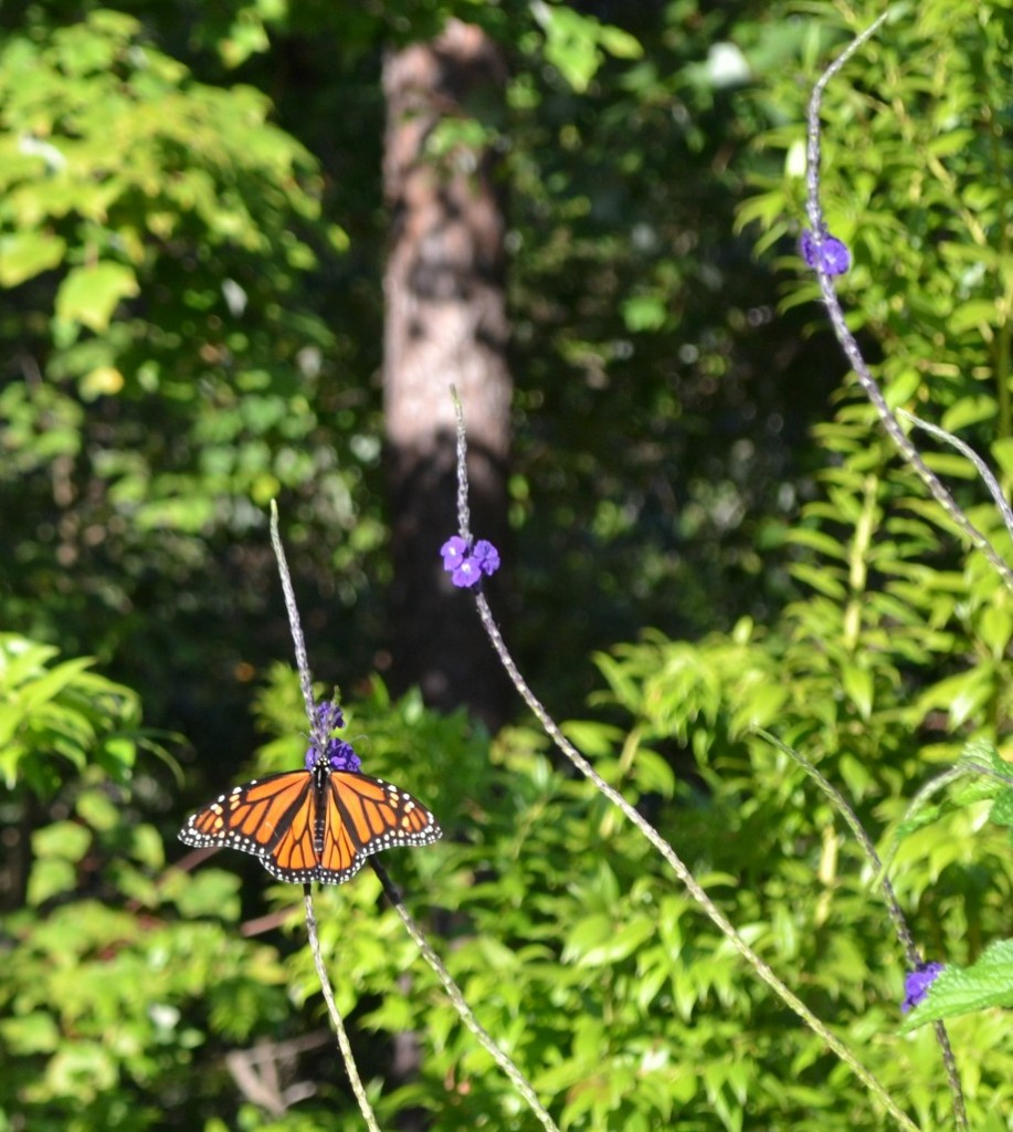 Monarch on porter weed