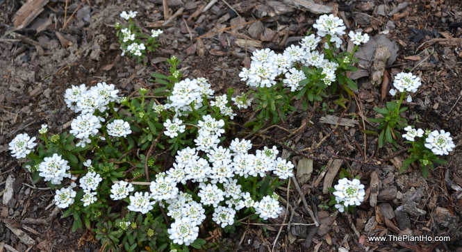 Candytuft, Loropetalum, spring bloomers