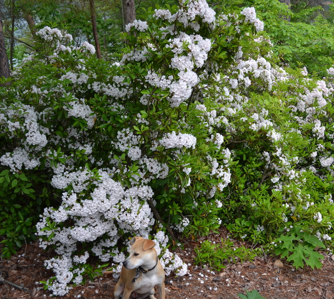 Mountain laurel and dog