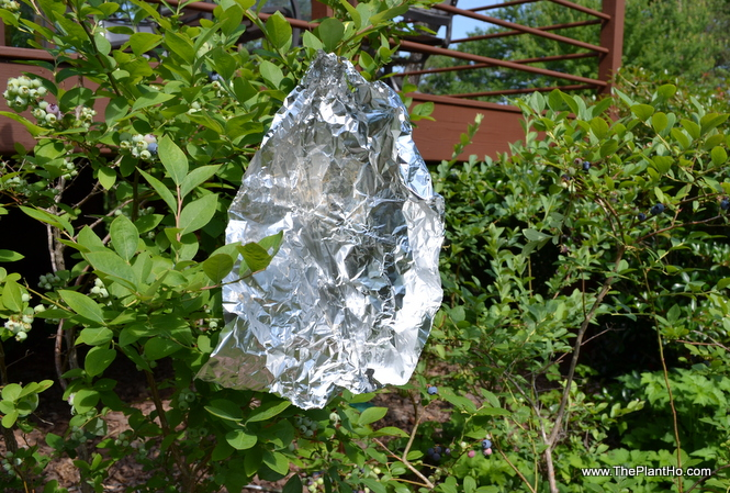 Use tinfoil to deter birds