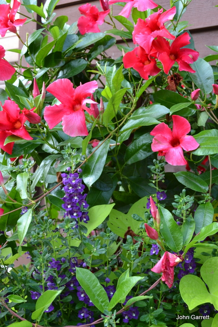 Red Mandeville and Purple Angelonia