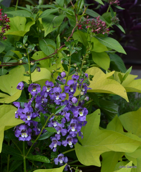 Purple Angelonia, sweet potato vine 'Margarita' and penta 'Butterfly Red'