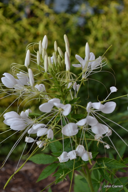 Spider flower (Cleome)