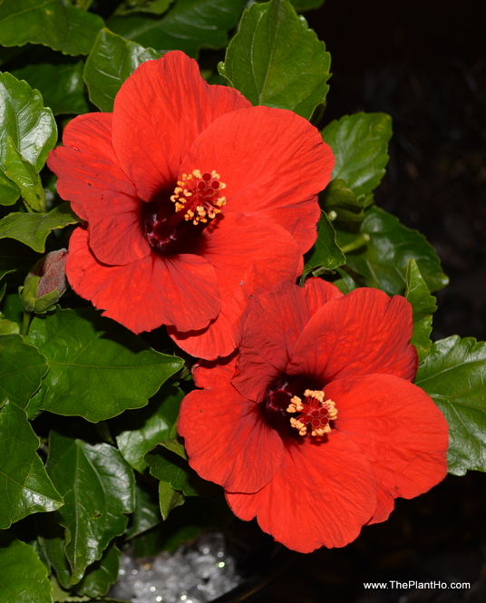 Hollywood Hibiscus Hot Head