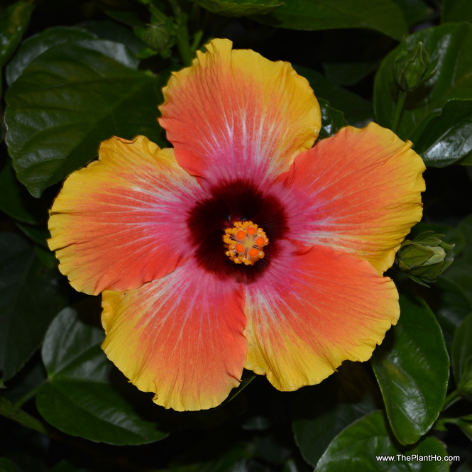Hollywood Hibiscus Social Butterfly