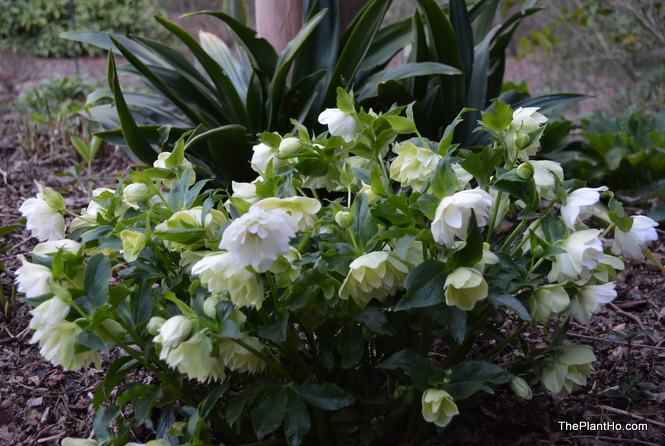 Mrs. Betty Ranicar Lenten rose (Helleborus 'Mrs. Betty Ranicar')
