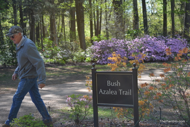 Native azalea, Huntsville Botanical Gardens, Bush Azalea Trail