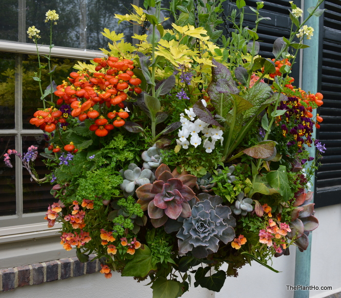 Chanticleer, hanging basket
