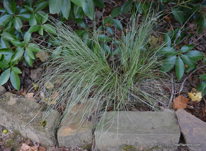 Carex morrowii 'Silk Tassel'