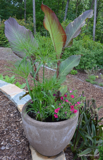 Prince Tut, Cyperus, papyrus, mixed container