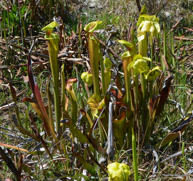 Pitcher Plants, Donald E. Davis Arboretum