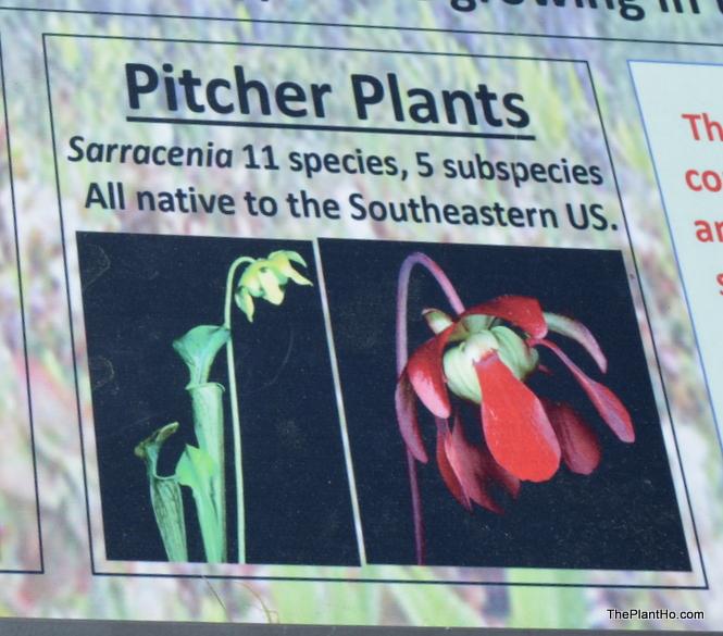 Pitcher Plants, Davis Arboretum