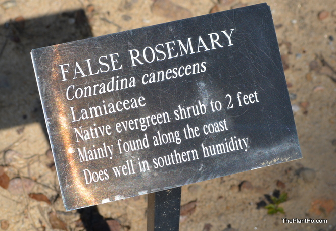 False Rosemary at Davis Arboretum